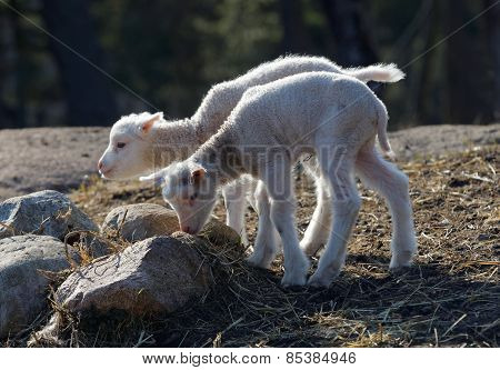Two Lambs Serching Food
