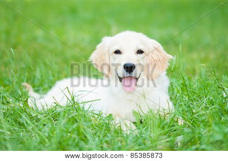 Portrait of a very young golden retriever