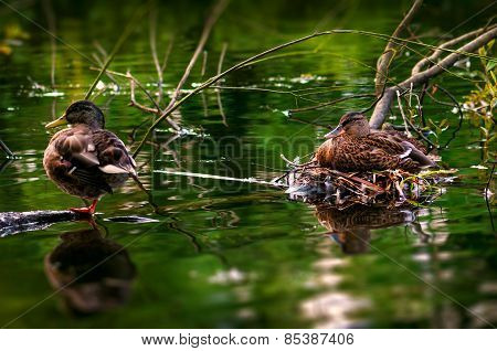 Male and female duck care for their eggs in their river side ne