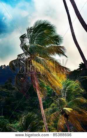 Single tall palm tree at a jungle in Trinidad and Tobago