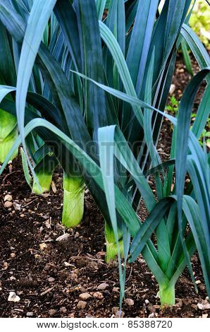 Organic leeks growing on compost soil home gardening