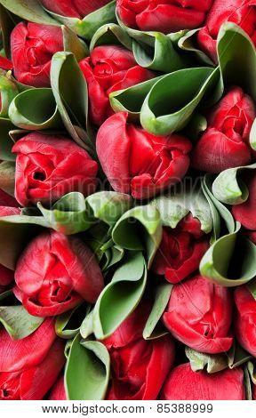 beautiful red tulips, big bouquet