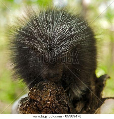 Porcupette (erethizon Dorsatum) Looks At Viewer