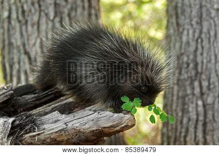 Porcupette (erethizon Dorsatum) Sniffs At Greenery