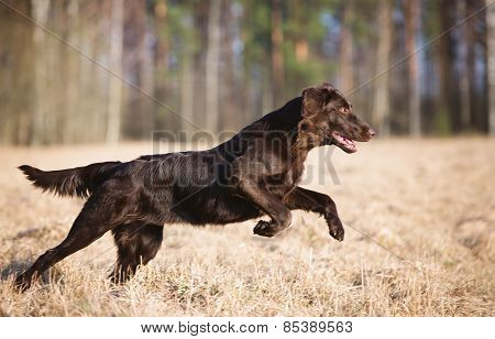 flat coated retriever dog running in the field