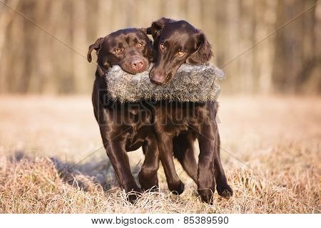 two hunting dogs playing together