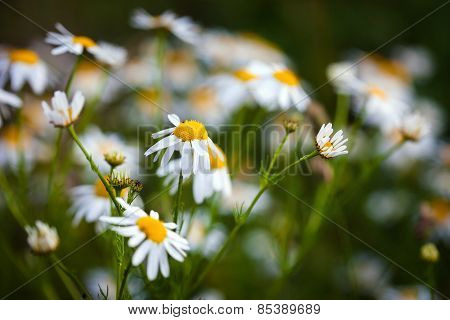 Field Of Daisies On Meadow At Spring Time