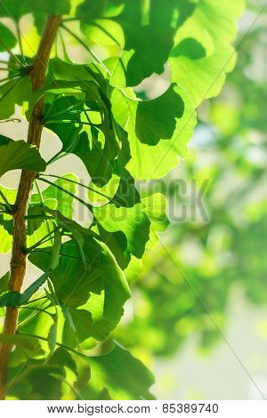 Branch of ginkgo tree