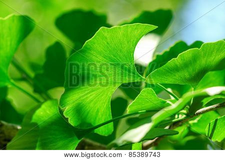 Ginkgo leave