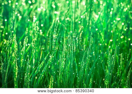 Spring grass lit by the morning sun