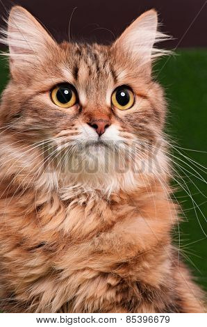 Close-up of cat looking at up, isolated on white background