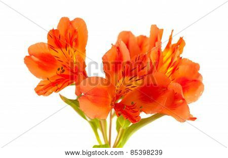 Orange Alstroemeria Isolated On White