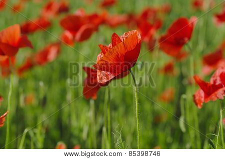 Poppy in a field