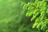picture of coniferous forest  - Coniferous forest - JPG