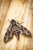 image of hawk moth  - Big hawkmoth  - JPG