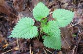 image of sting  - A young Stinging Nettle plant on the forest floor - JPG