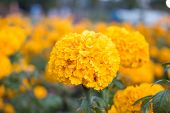 stock photo of marigold  - Marigolds (Tagetes erecta, Mexican marigold, Aztec marigold, African marigold)
