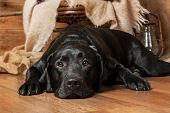 picture of labradors  - Portrait of a sad black labrador lying on the floor in a beautiful interior - JPG