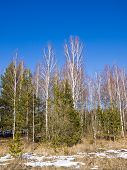 picture of blue spruce  - Birch - JPG