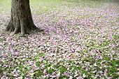 foto of trumpet flower  - Flower of pink trumpet tree falling on ground - JPG