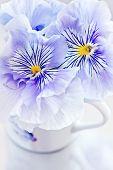 image of viola  - Photo of a beautiful Viola flowers close - JPG