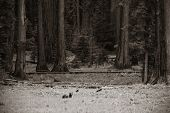 picture of sequoia-trees  - Bear in wild with cubs in Sequoia National Park in black and white - JPG