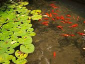 picture of water lily  - Red gold fish in transparent water pond with lilies - JPG