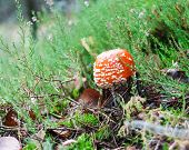 picture of toadstools  - Red toadstool mushroom with green plants in autumnal forest - JPG