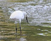 pic of water bird  - wild little egret bird feeding in water pool use for animals and wildlife in nature habitat - JPG