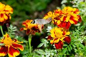 stock photo of hummingbirds  - Insect hummingbird hawk - JPG