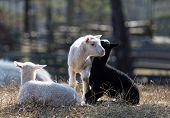 stock photo of three life  - Three lambs enjoying life a sunny day in the meadow - JPG
