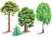 picture of birching  - Types of trees - JPG