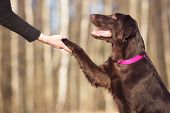 picture of paws  - flat coated retriever dog gives paw outdoors - JPG