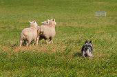 picture of herding dog  - Stock Dog Herds Sheep Away (Ovis aries) - dog primary focus