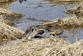 pic of pintail  - A male and female Northern Pintail near Hauser Lake Idaho.