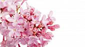 pic of lilac bush  - Branch of a lilac lilac on a white background - JPG