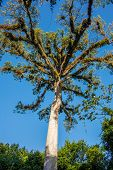 stock photo of mayan  - Giant Tree at Tikal Mayan Ruins Traveling through Guatemala - JPG