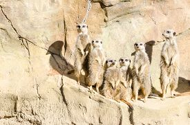 stock photo of meerkats  - Six Slender - JPG