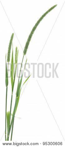 Grass Seed Stalks