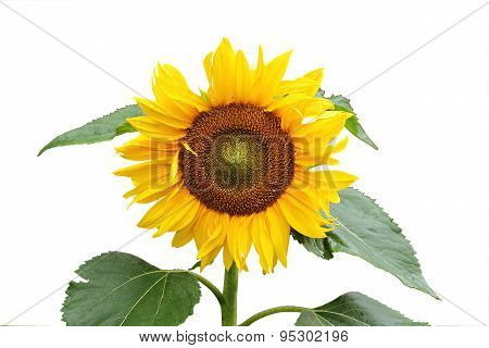 Sunflower On A Stem With Leaves Isolated On A White Background.