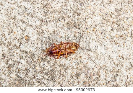 Close Up Cockroach Dead On A Floor