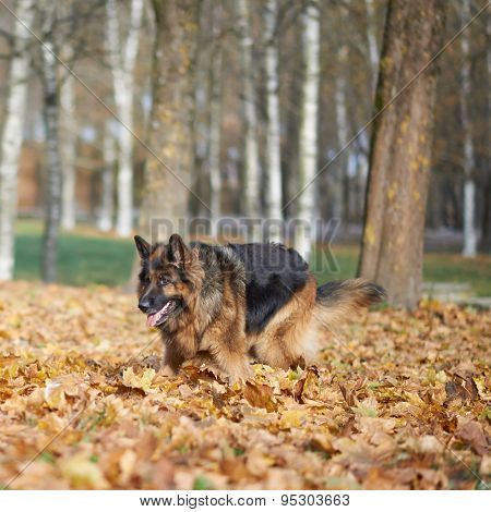 German shepherd dog composition