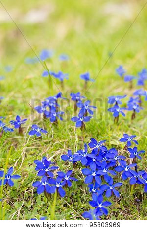Natural Cushion Of Small Alpine Blue Flowers