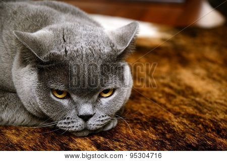 tired cat - british blue
