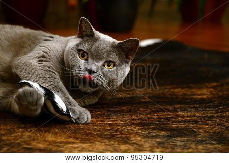 british blue cat - playing with pillow