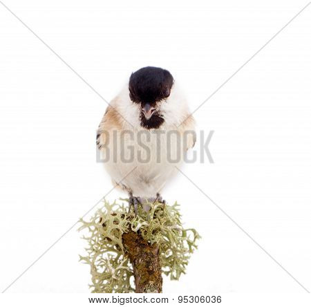 Willow Tit Parus Montanus On A White Background