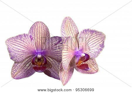 Purple Streaked Orchid Flower