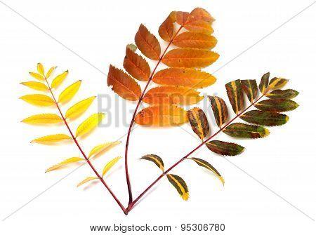 Three Multicolor Autumn Rowan Leafs