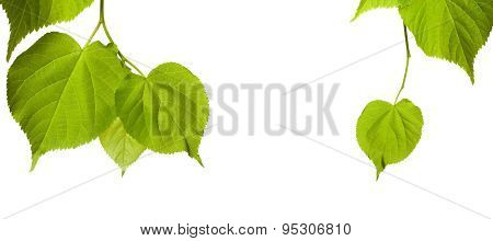 Spring Tilia Leaves Isolated On White Background