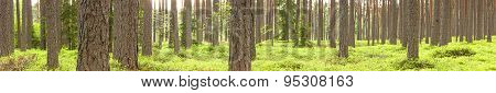 Green Pine Tree Forest In Summer